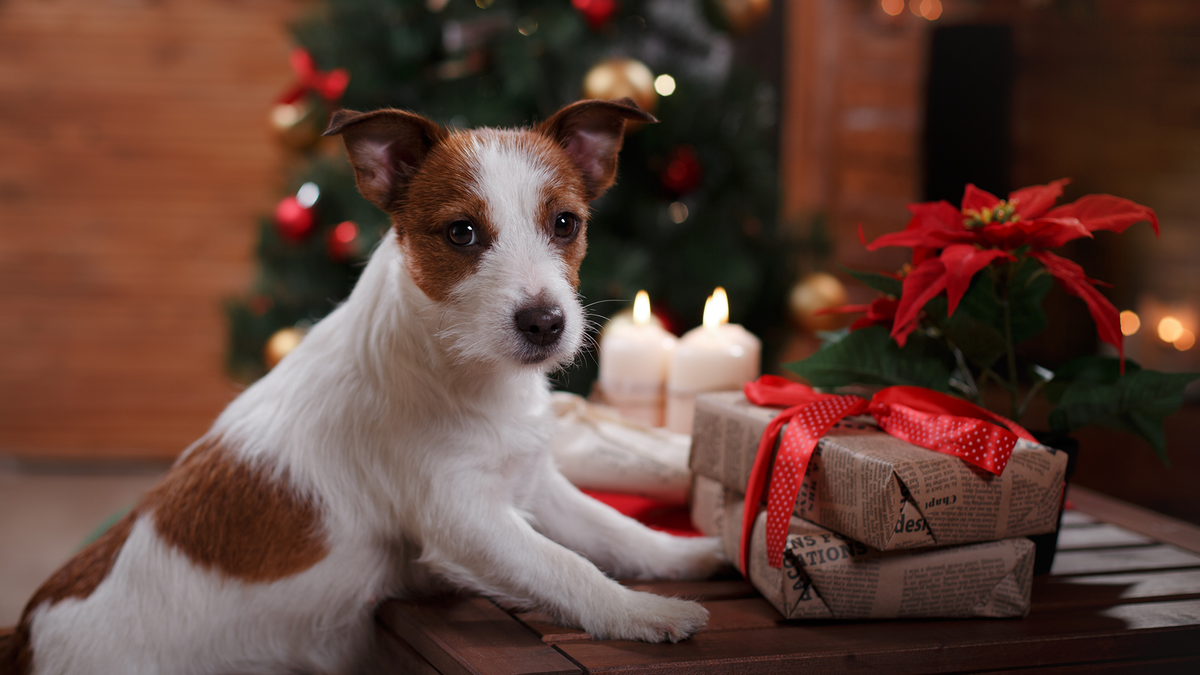 A super cute Jack Russell Terrier eagerly waits for permission to open his Christmas presents.