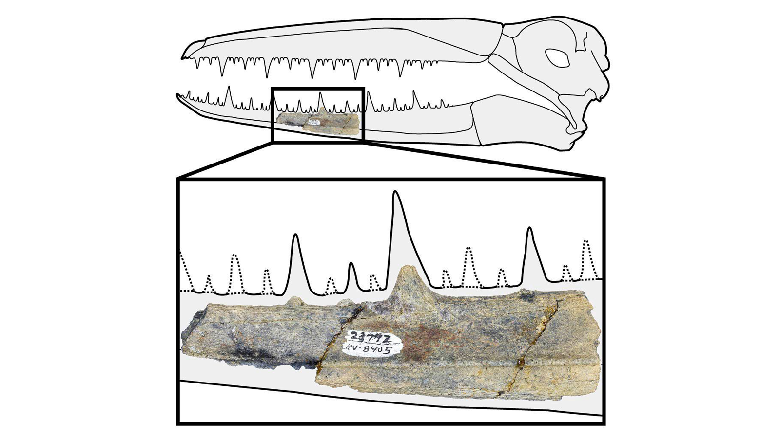 A pelagornithid's jaw bone was found in a rock formation laid down more than 37 million years ago.