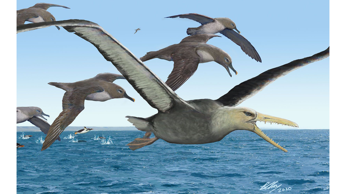 Artists rendering of a pelagornithid, possibly the biggest flying bird ever