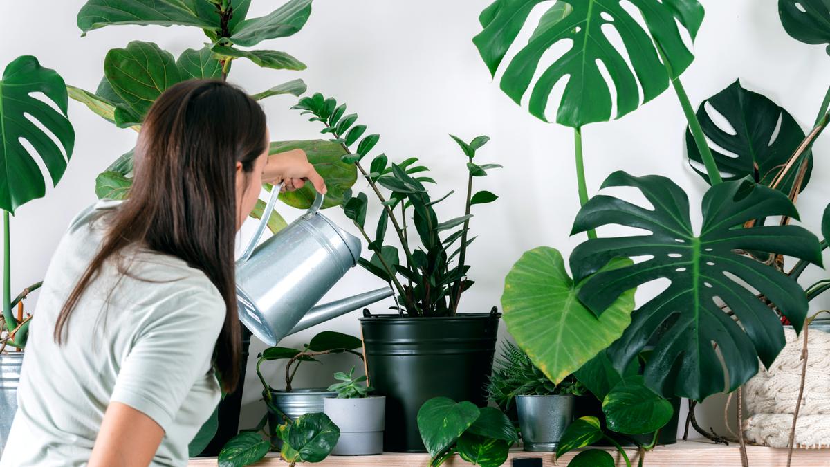 Person taking care of houseplants, urban jungle interior
