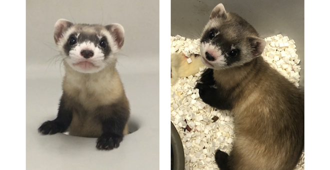Scientists Cloned an Endangered Black-Footed Ferret (And It's Super Cute!)