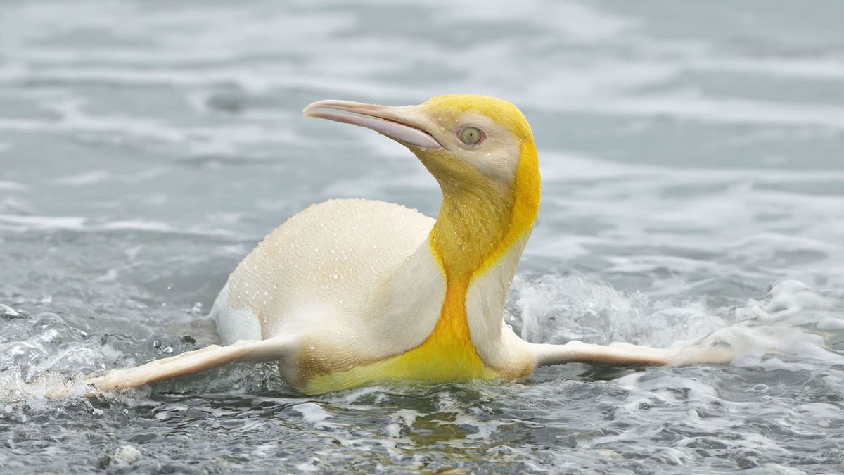 Rare yellow penguin swimming in ocean