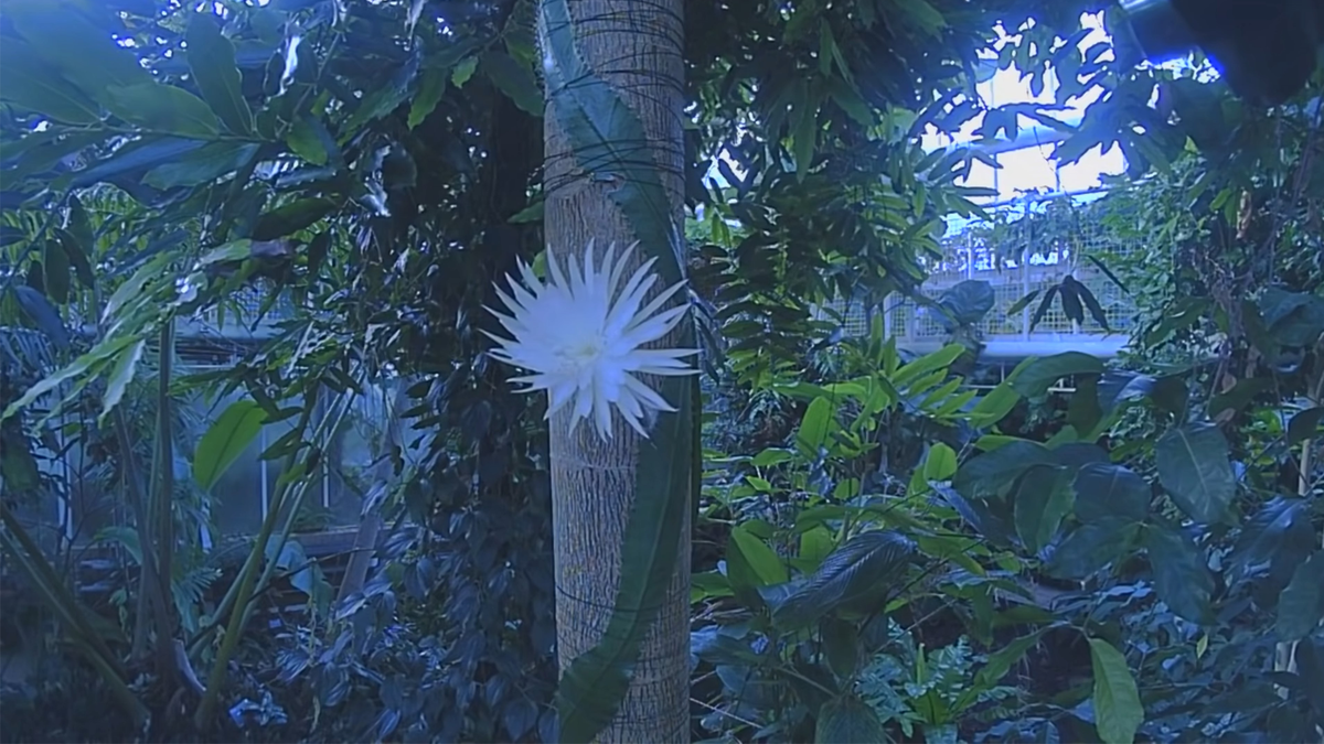 The Moonflower cactus blooming