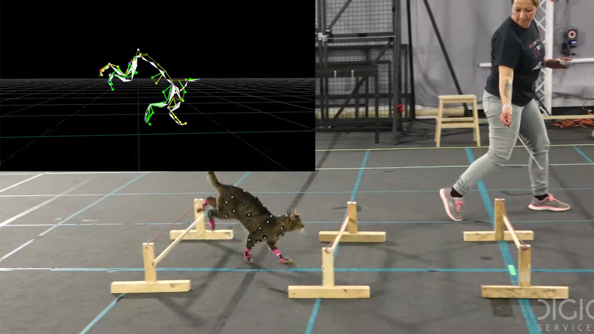 Cat wearing motion capture sensors running an obstacle course
