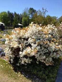 Picture of flowering bush taken by ZTE Axon 20 5G