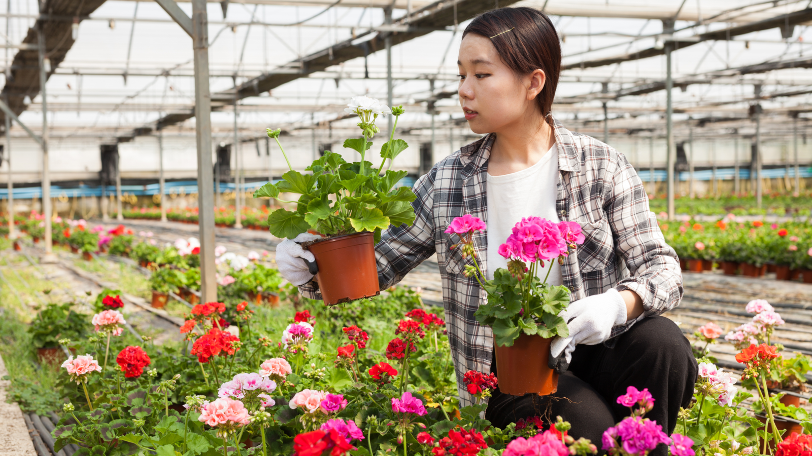 Cheerful florist holding potted geranium flowers in a greenhouse