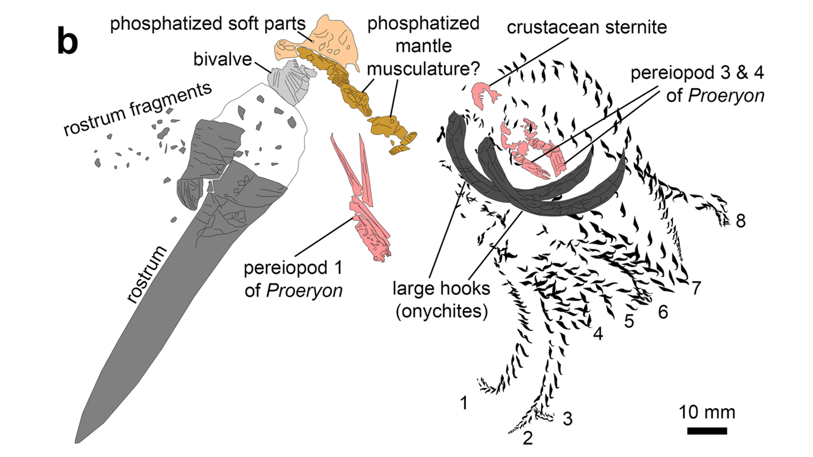 Diagram of the identifiable fossil fragments