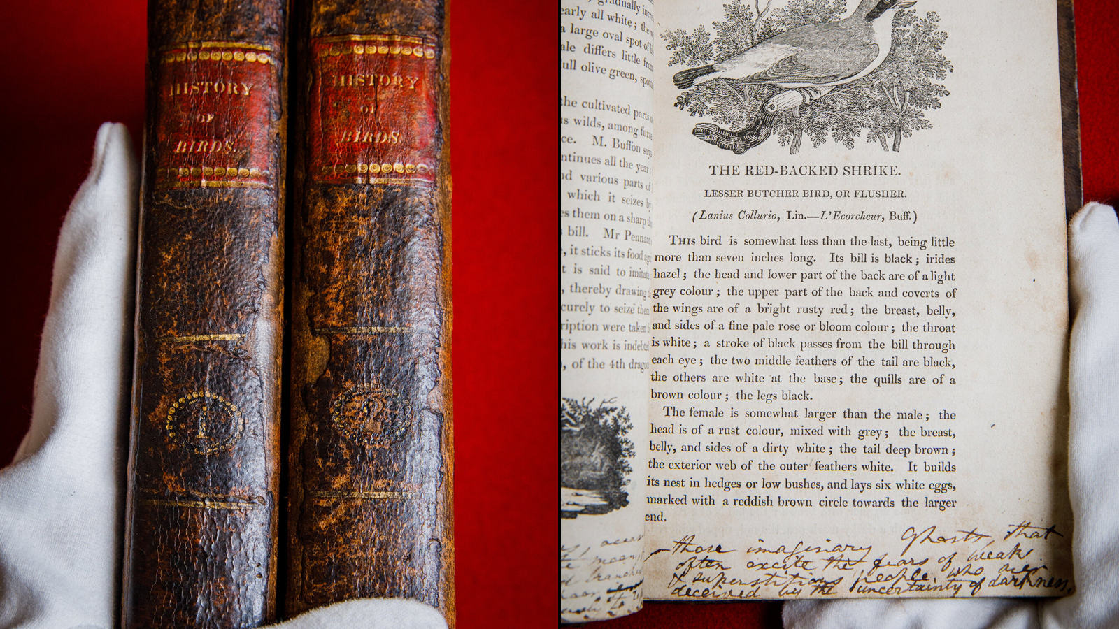 """Museum worker with white gloves holding up copies of Bewick's """"History of British Birds"""""""