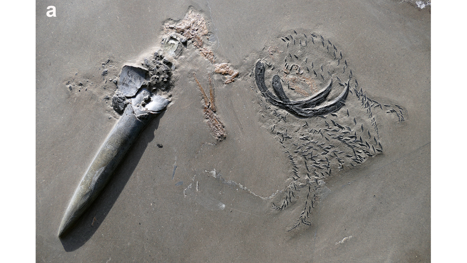 The fossil of the crustacean and squid