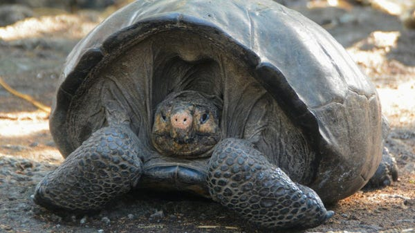 Giant Galapagos Tortoise Thought to Be Extinct 100 Years Ago Found on Island