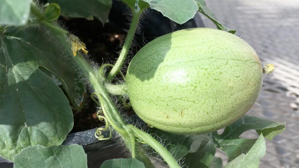 The Kordofan melon of Sudan.