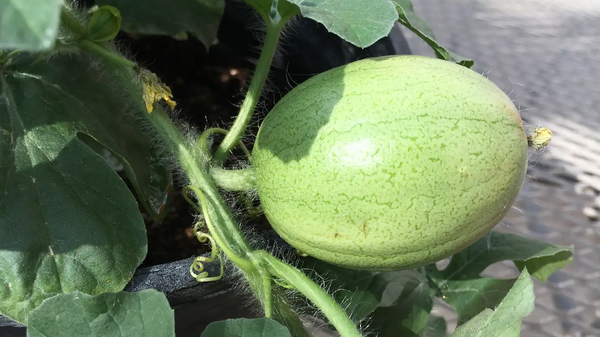 Scientists Have Uncovered the Humble Watermelon's Oldest Ancestor