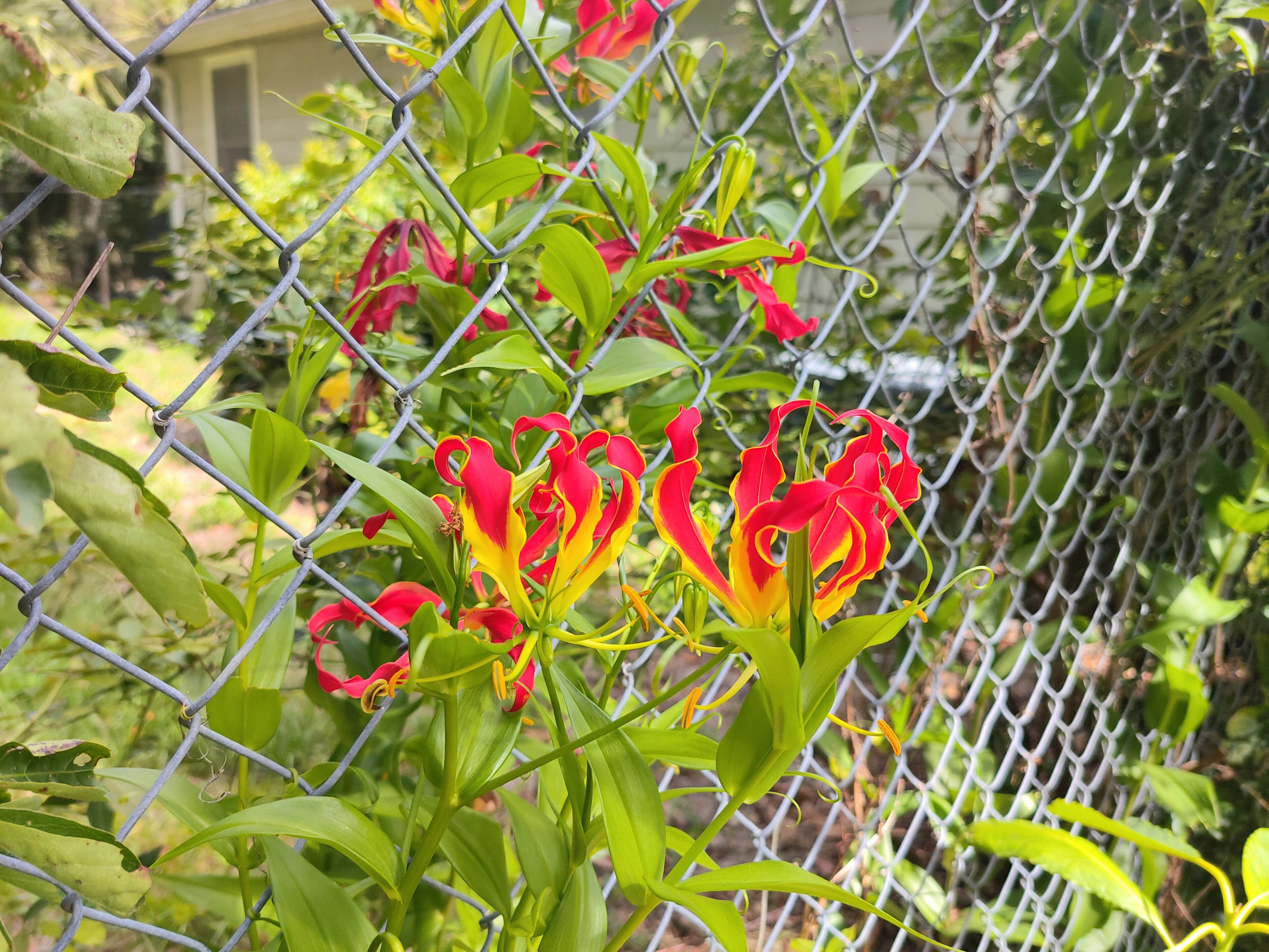A photo of bright red flowers.