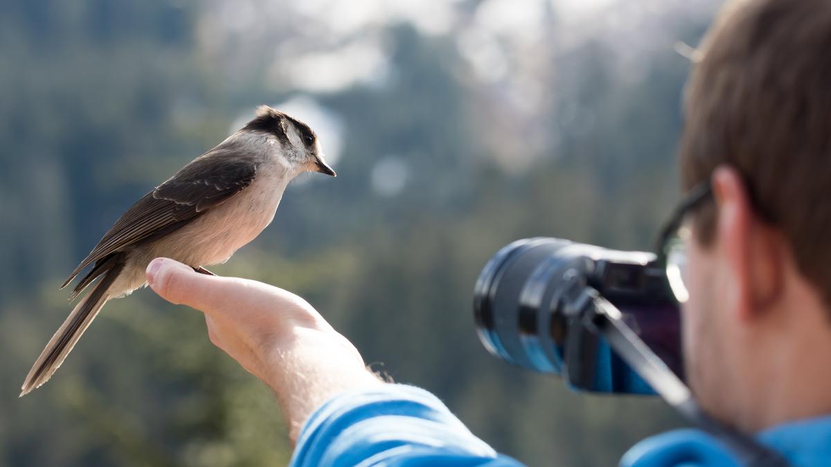 Gray bird in photographer's hand