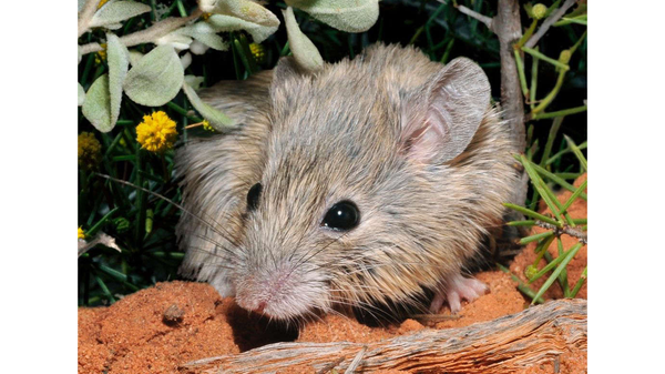 """""""Extinct"""" Australian Mouse Found Chillin' on an Island 150 Years Later"""