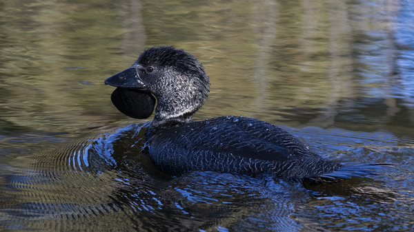 Researchers Confirm That a Captive Duck Learned to Curse