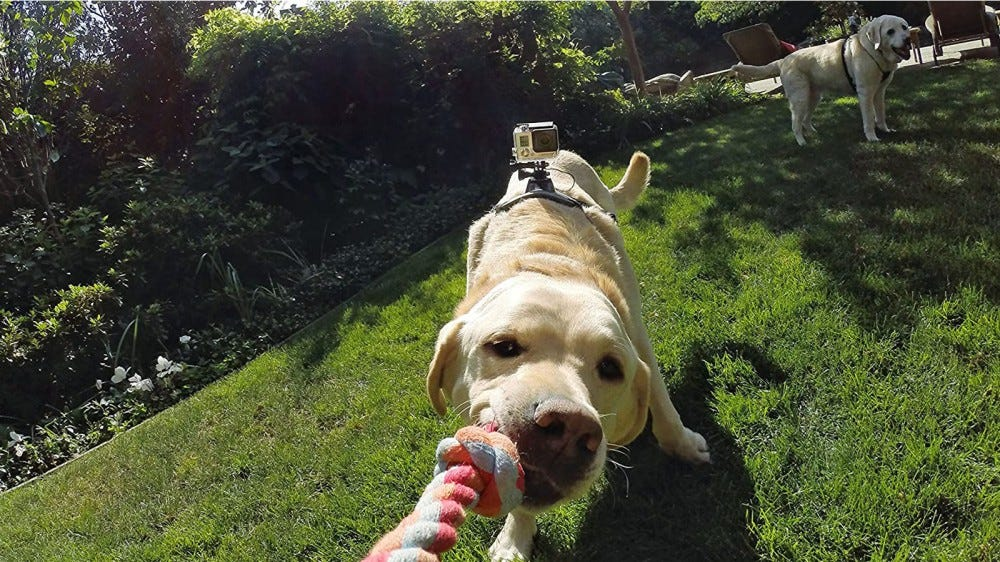 GoPro Fetch harness on dog running around playing with toys in the yard
