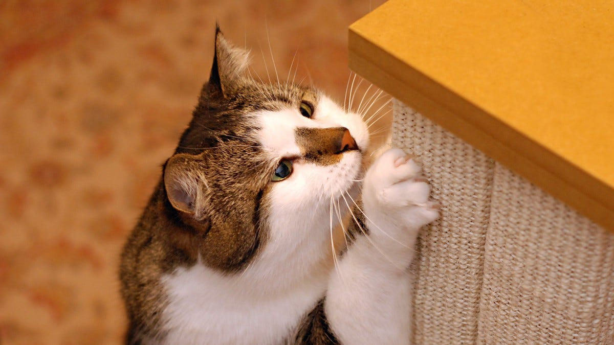 A cat happily scratching the SmartCat scratching post.