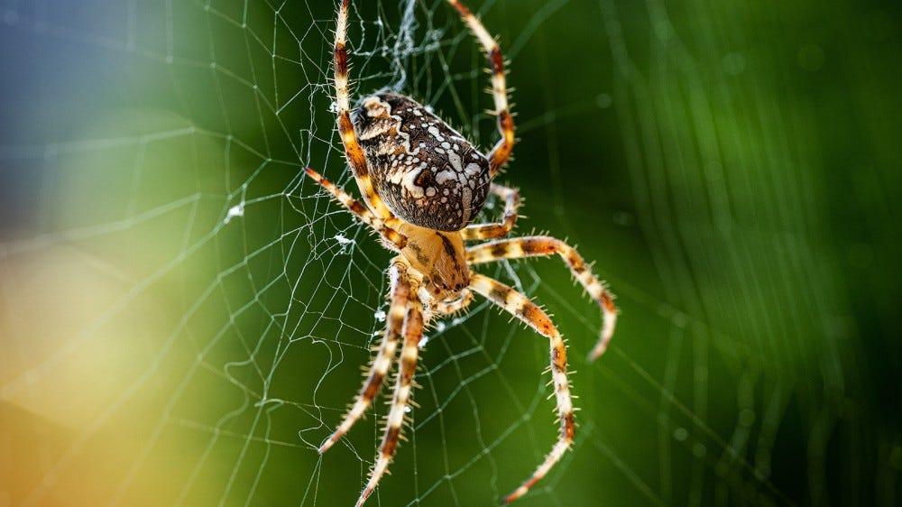Araneus diadematus, the common garden spider studied by Fritz Vollrath and Thiemo Krink.
