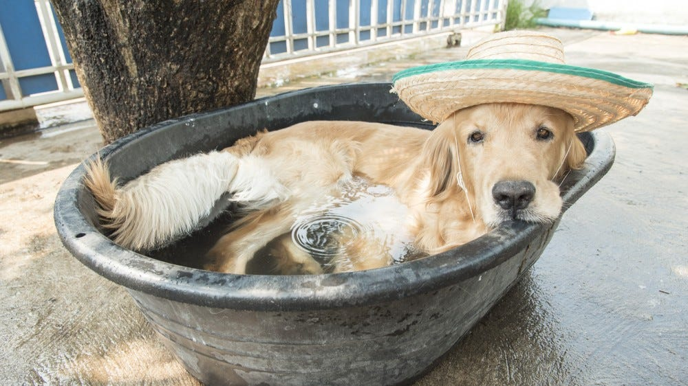 golden retriever dog in a small pool tired of summer heat