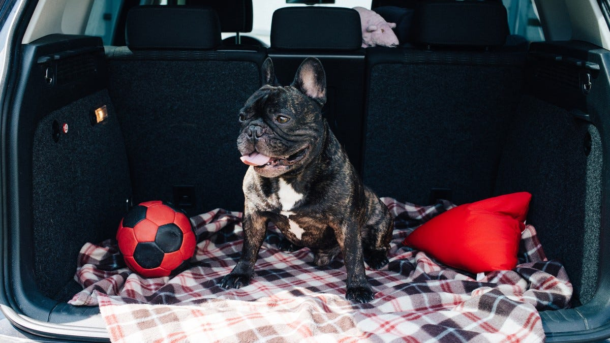 A French Bull Dog sitting on a blanket in a car's hatchback.