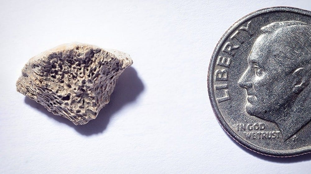A photo of the 10,000 year old dog bone fragment next to a dime.