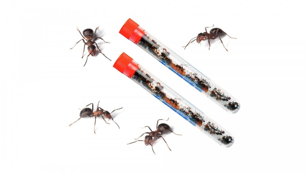 Two tubes of live red ants surrounded by 4 red ants.